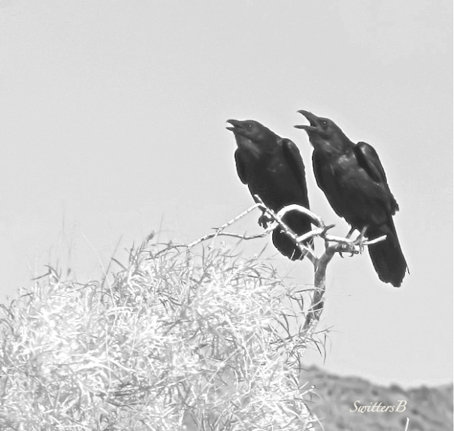 duet-crows-SwittersB-birds