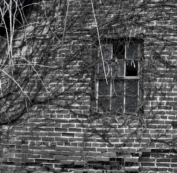 old brick wall-vines-window-Oregon-SwittersB