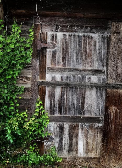 old shed door-SwittersB-Ivy-rustic