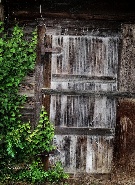 old shed door-SwittersB-Ivy-rustic