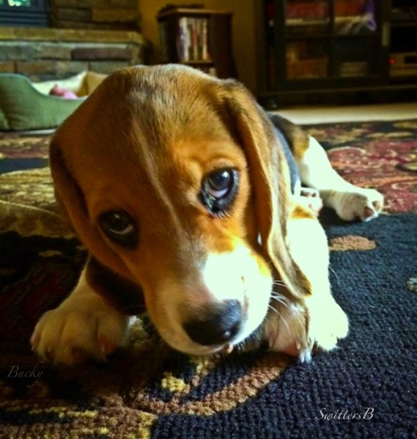 beagle-cute-puppy-Switters-Bucky-pet