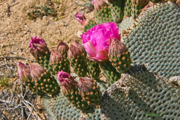 beavertail cactus-bloom-Joshua Tree-desert