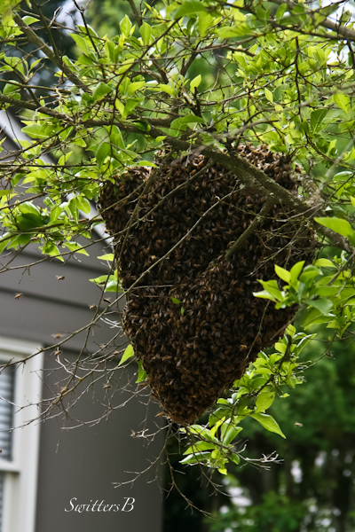 bee swarm-hive-Portland-tree-SwittersB