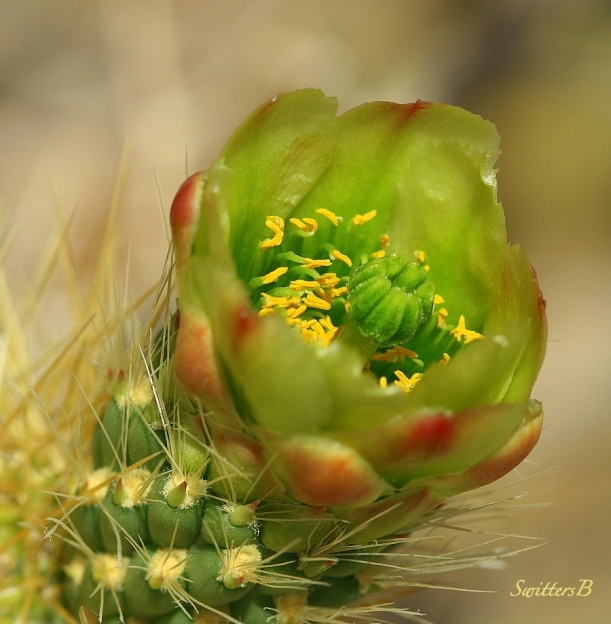 cactus bloom-desert-Mojave-Joshua Tree-photo-SwittersB