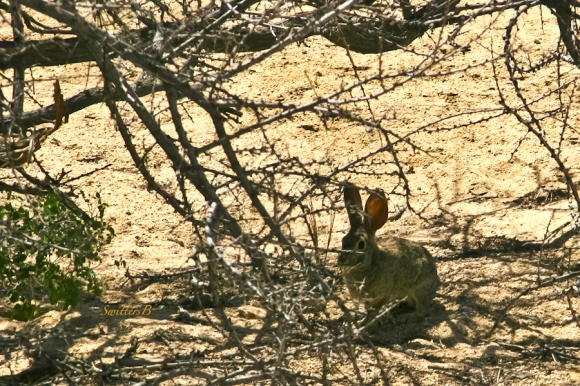 desert cottontail-SwittersB-mammal-Joshua Tree-Heavenly