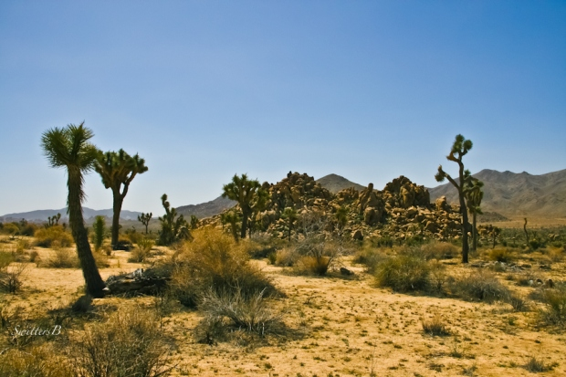 Desert-Joshua Trees-California-SwittersB