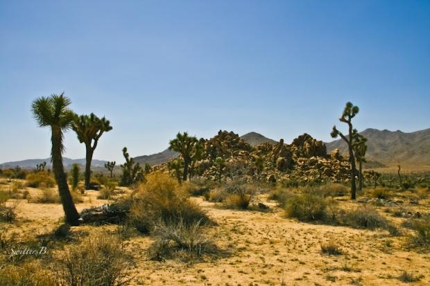 Desert-Joshua Trees-California-SwittersB