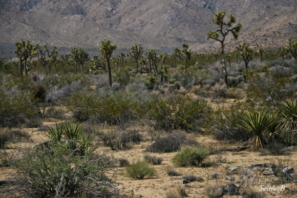 desert landscape-Joshua Trees-Lizard Rock-SwittersB