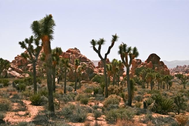 desert-mojave-hazy-joshua trees-swittersb