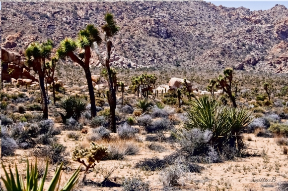 Desert Scape-Joshua Tree-Park Road-SwittersB