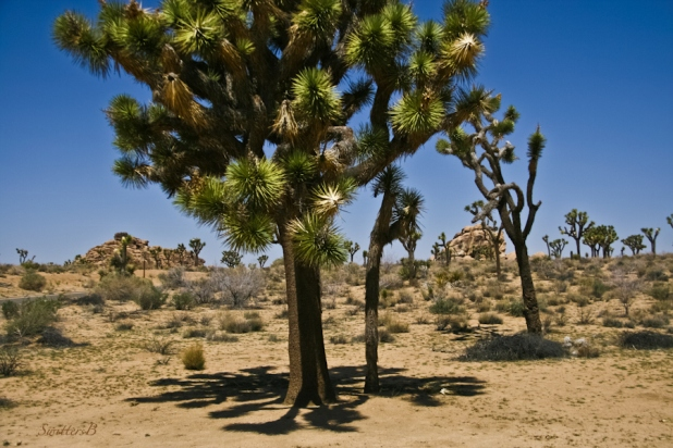 desert-shade-Joshua Tree-midday-SwittersB