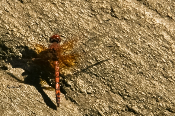 dragon fly-wings-rock-Andreas Canyon-SwittersB