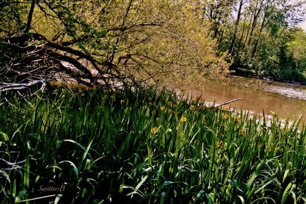 iris-Whitaker Ponds-Portland-habitat-SwittersB