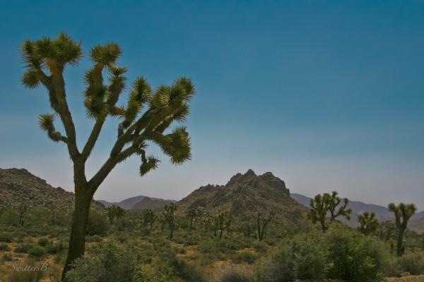 Joshua Trees-landscape-California-SwittersB