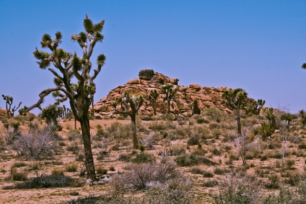 joshua trees-rock formation-desert-SwittersB