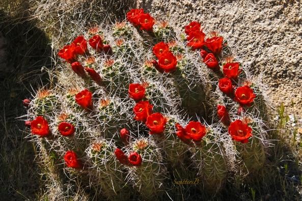 mojave mound cactus-Barker Dam-blooms-SwittersB