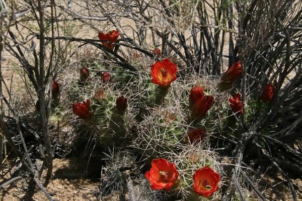 Mojave Mound Cactus-Joshua Tree NP-Barker Dam Trail-SwittersB