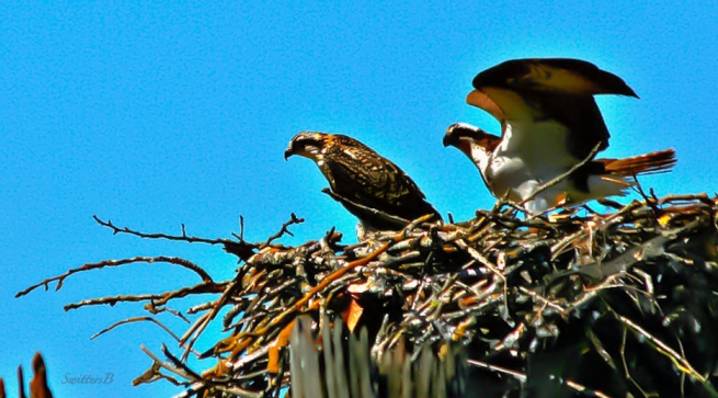 Nest-Birds-Oregon-photo-Columbia River-SwittersB
