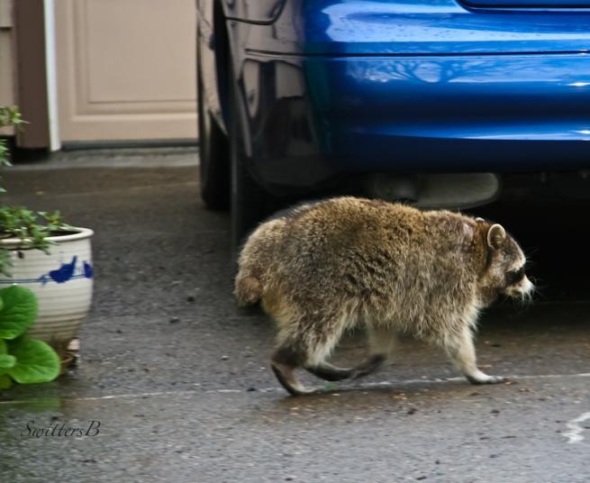 raccoon-Portland-urban-wildlife-image-SwittersB