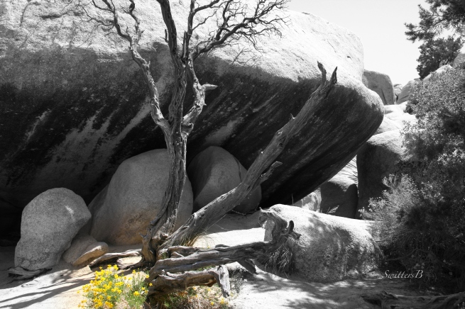 snag-yellow wildflowers-boulders-SwittersB-Joshua Tree