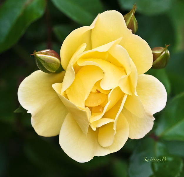 yellow rose-buds-Portland-garden-SwittersB