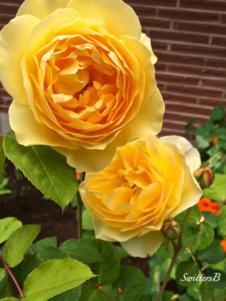 big yellow rose-Portland-garden-SwittersB