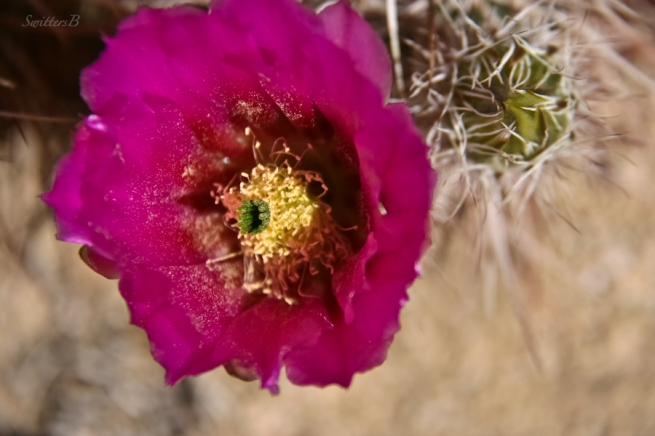 cactus bloom-focal point-flowers-Mojave-desert-SwittersB