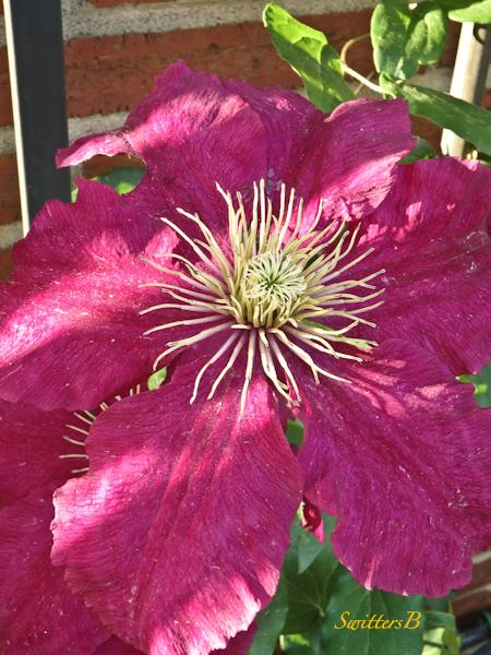 clematis, garden, Portland, SwittersB