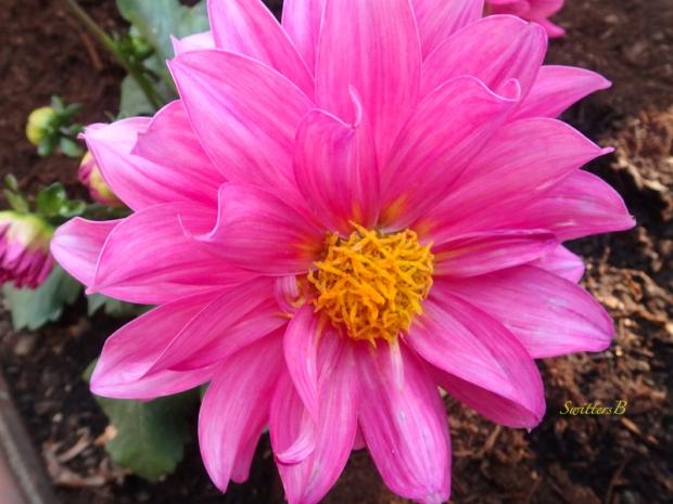 dahlia-garden-photo-SwittersB
