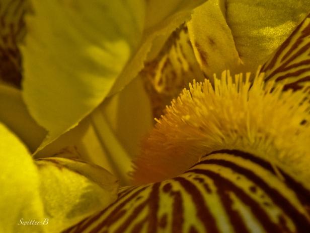 beard-Iris-flower-photo-SwittersB