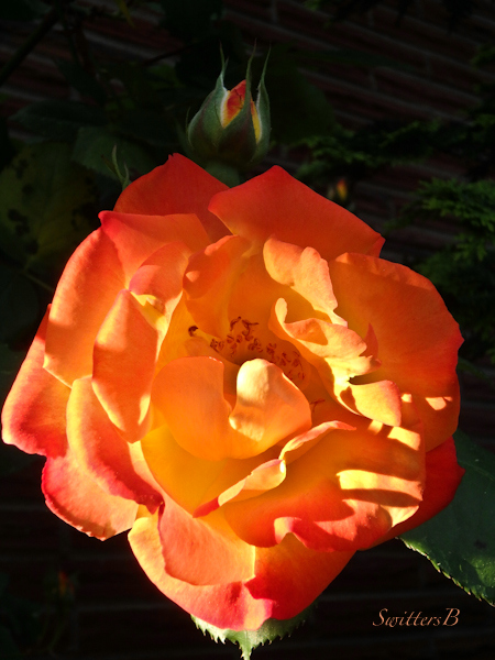 Joseph's Coat-Rose-morning-side light-photo-SwittersB