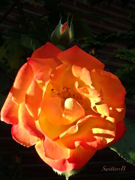 Joseph's Coat-Rose-morning-side light-photo-SwittersB