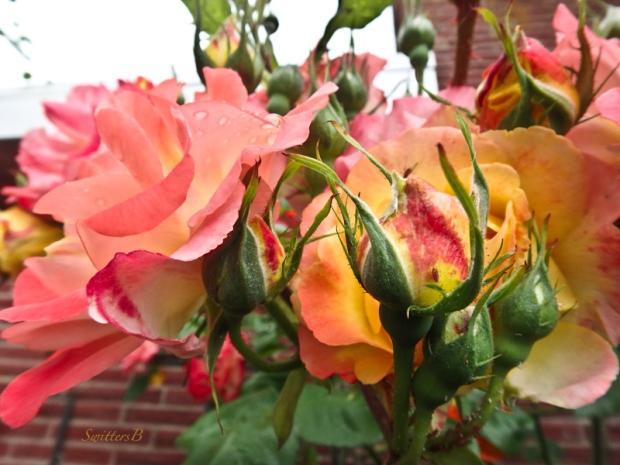 Joseph's Coat, Roses, Garden, SwittersB