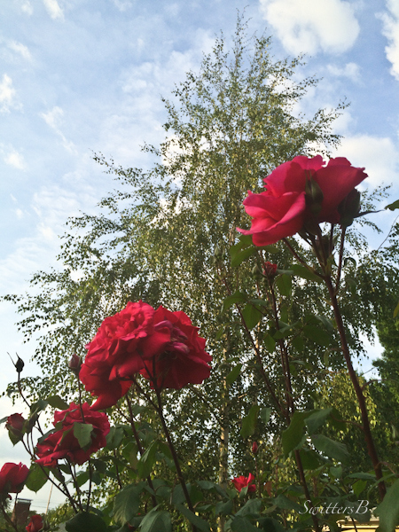 long stems-roses-sky-birch-garden-SwittersB