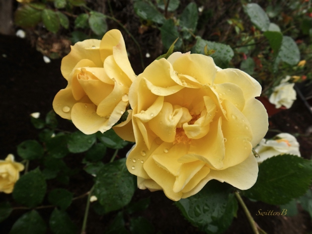 yellow roses-Portland-garden-photo-SwittersB