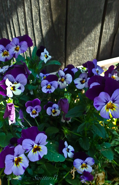 pansies-fence-garden-photo-SwittersB