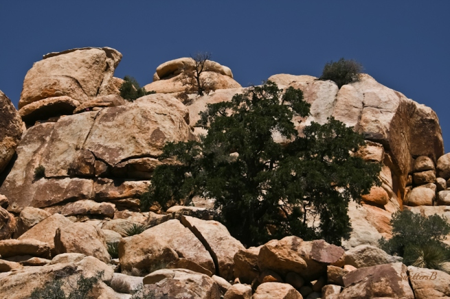 pinyon tree-barker dam-Joshua Tree-SwittersB