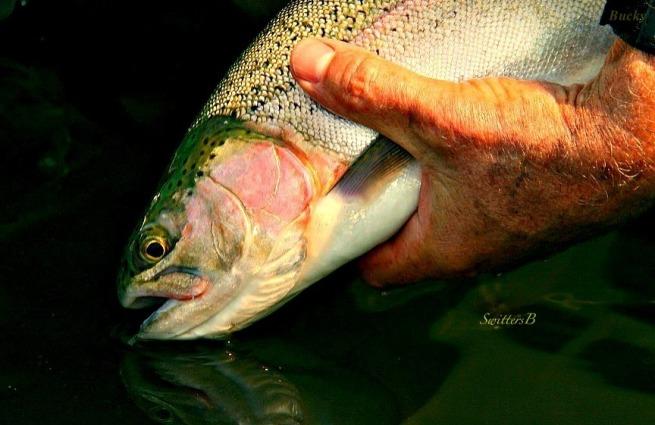 rainbow trout-released-Oregon-fishing-photo-SwittersB-Bucky