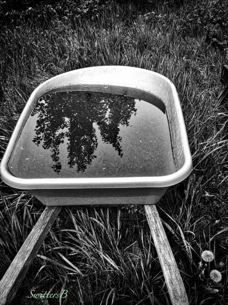 reflection-wheelbarrow-water-tall grass-dandelions-SwittersB