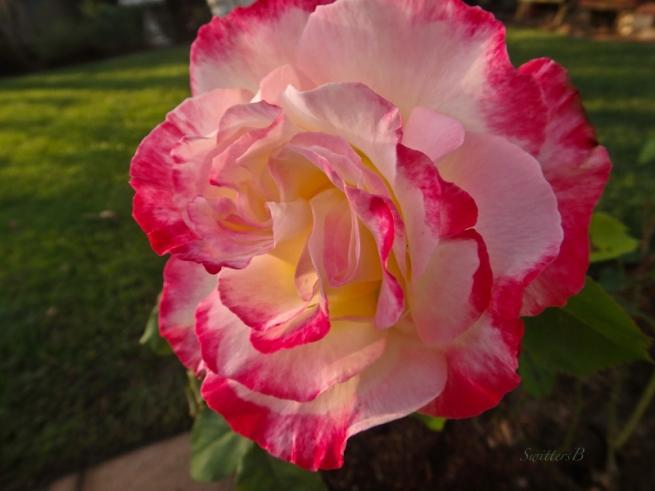 roses, flamboyant, garden, Portland, SwittersB