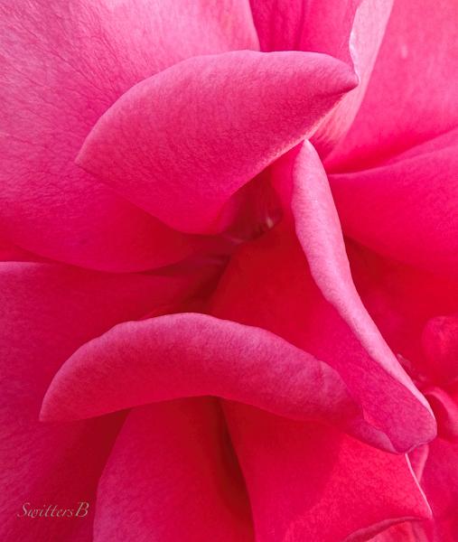 rose petals, roses, petals, photo, macro, SwittersB, sensuous