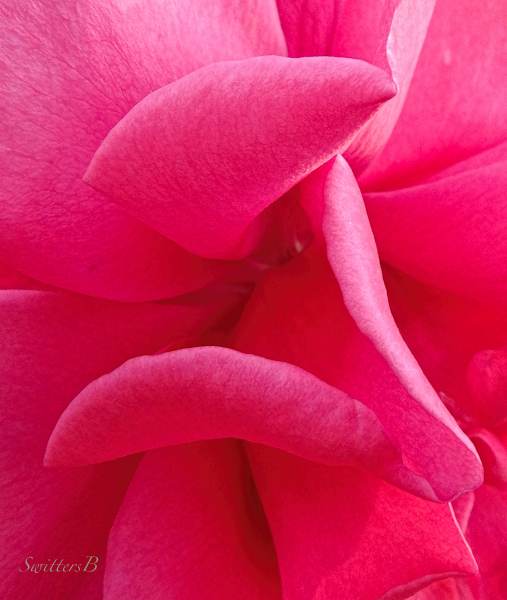 rose petals, roses, petals, photo, macro, SwittersB, sensuous
