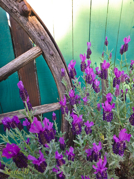 wagon wheel-lavender-fence-photo-SwittersB