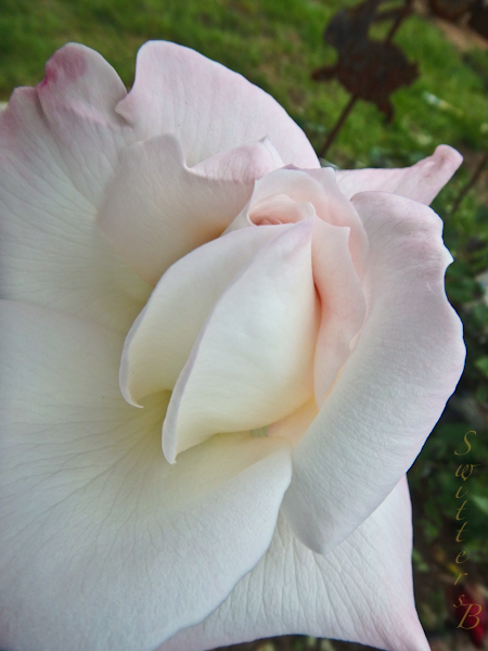 White Rose-SwittersB-Portland-Garden