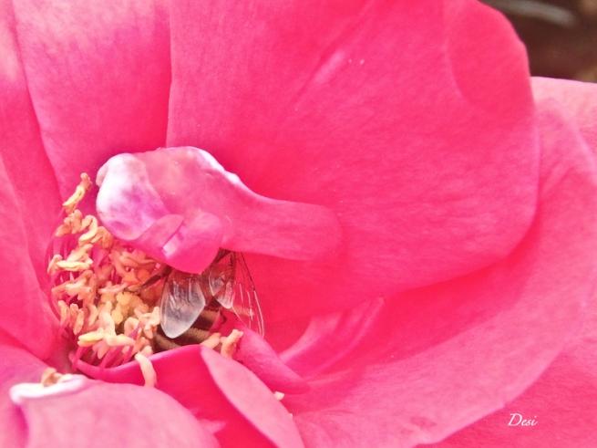 Red rose-honey bee-Desi-SwittersB