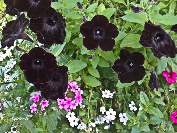 black petunias-garden-SwittersB
