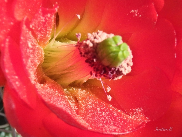 cactus bloom, macro, stamen, SwittersB