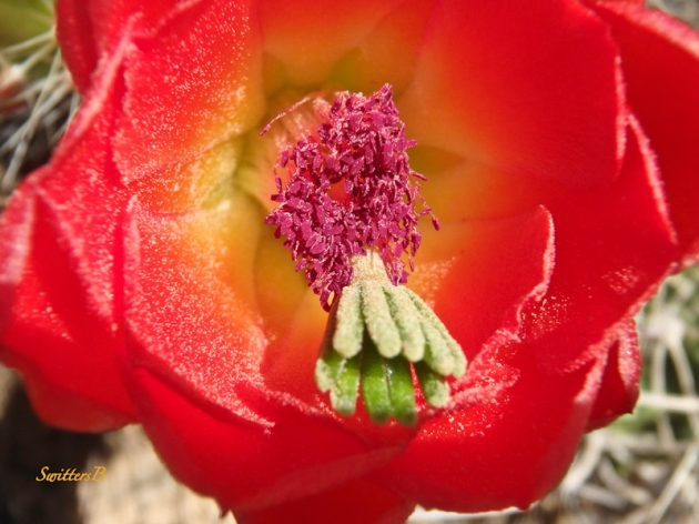 cactus bloom-macro-SwittersB-desert