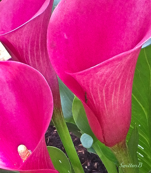 calla lily, flowers, backyard, SwittersB