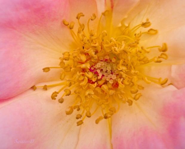 beauty-rose-inside-stamens-flowers-SwittersB